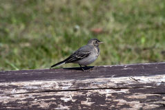 Wagtail's baby bird Stock Image