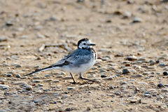 Wagtail on the sand Stock Images