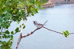 Wagtail sits on a branch. Wagtail gray sitting on a birch branch with green leaves against the background of water stock photo