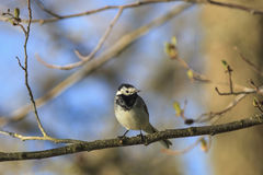 Wagtail on a branch Royalty Free Stock Photos