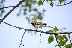 Wagtail sitting Motacilla alba on tree branch in the spring. The northeast of Ukraine Stock Photos