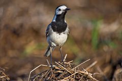 Wagtail standing Stock Images