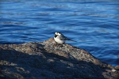 Wagtail on a stone Royalty Free Stock Photo