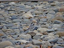 Wagtail in stones Royalty Free Stock Photography
