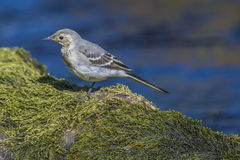 Wagtail in the tista river Stock Images