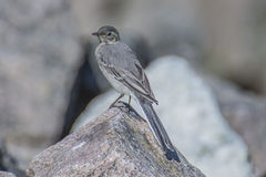Wagtail in the tista river Royalty Free Stock Images