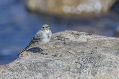 Wagtail in the tista river Royalty Free Stock Photography