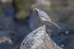 Wagtail in the tista river Stock Photos