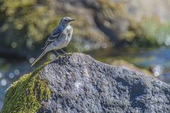 Wagtail in the tista river Royalty Free Stock Image