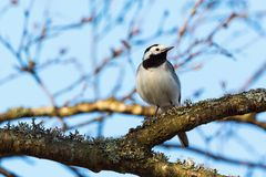 Wagtail on a tree branch Royalty Free Stock Photography