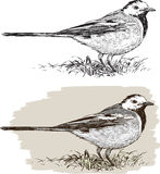 Wagtail Stock Images