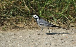 Wagtail walking on the ground Stock Image