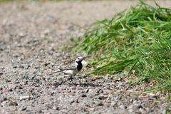 Wagtail is walking on the road Stock Photography