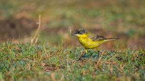 Yellow Bird, close up Royalty Free Stock Photos