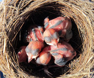 Wagtailnest mit Hatchlings mit 4 Tagen Stockfotos