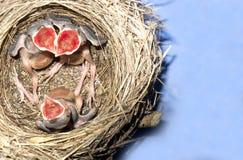 Wagtailnest mit Hatchlings mit einem 5 Tagnold Lizenzfreie Stockfotografie