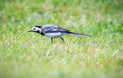 Wagtails Stock Images