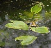 Wah лягушки Стоковые Изображения