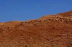 Wahiba Camels Royalty Free Stock Image