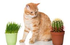 Wahl der Katze - klassisch oder exotisch lizenzfreies stockbild