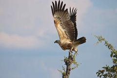 Wahlberg Eagle, Simbabwe, Nationalpark Hwange Lizenzfreies Stockbild