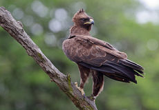 Wahlberg Eagle Royalty Free Stock Images