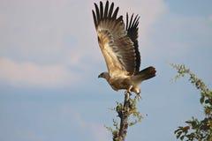 Wahlberg Eagle, Zimbabwe, Hwange nationalpark Royaltyfri Bild