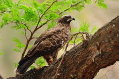 Wahlberg's Eagle (Aquila wahlbergi) Stock Image