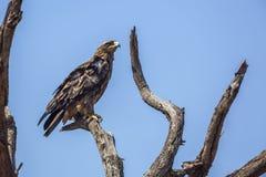 Wahlberg s Eagle en parc national de Kruger, Afrique du Sud photo libre de droits