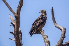 Wahlberg s Eagle en parc national de Kruger, Afrique du Sud photos libres de droits