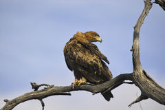 Wahlberg's eagle (Hieraaetus wahlbergi) Royalty Free Stock Photos
