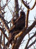 Wahlberg's eagle Stock Images