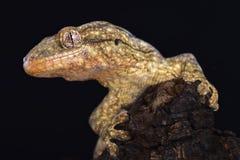Wahlberg`s velvet gecko Homopholis wahlbergii Royalty Free Stock Photos