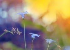 Wahlenbergia australisk vildblomma, infödd blåklocka arkivfoton