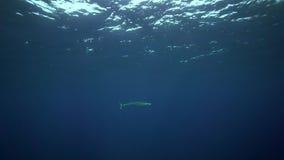 Wahoo (Acanthocybium-solandri) op het eiland van Roca Partida van Revillagigedo-Archipel stock videobeelden