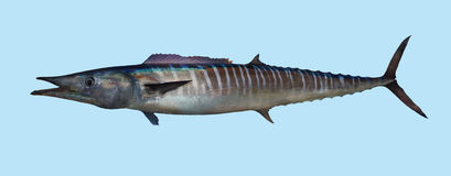 Wahoo fishing portrait. A  saltwater predator that feeds mainly on smaller fish.  Its speed and high-quality flesh make it a prize game fish Royalty Free Stock Photo