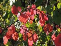 Wahoo. Foliage of wahoo, or Euonymus verrucosus Royalty Free Stock Image