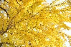 Wahre gelbe Blätter erst im Herbst stockbild
