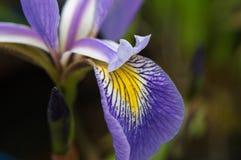 Wahre Wasser-Irisblume Abschluss oben Blende versicolor Lizenzfreies Stockfoto