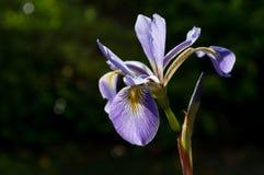 Wahre Wasser-Irisblume Rückseitige Lit Blende versicolor Stockfoto