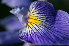 Wahre Wasser-Irisblumenblumenblätter schließen oben Blende versicolor Lizenzfreie Stockfotografie
