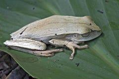 Wahrer Baumfrosch auf dem grünen Blatt Stockbild