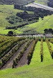 Waiheke Island Vineyard. Waiheke Island is a short ferry ride from New Zealand's largest city Auckland. The island has a unique climate and it produces some of stock photo