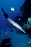 Waikiki Artificial Reef Marine Life. Trumpet fish, (Aulostomus chinensis) swims down and into the wreck and Milletseed Butterfly fish, (Chaetodon miliaris) swim royalty free stock photos