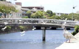 Waikiki Pideon Stock Photo