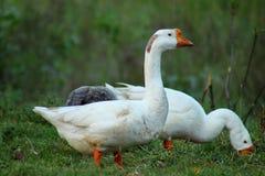 Waiking στην όμορφη ταπετσαρία Duckjs τομέων στοκ φωτογραφίες με δικαίωμα ελεύθερης χρήσης