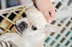 Wail and wine french bulldog Stock Images