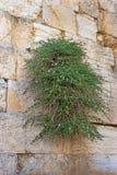 Wailing Wall in Jerusalem, Israel Royalty Free Stock Photo