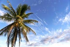 Waimea Bay Coconut. A coconut palm overlooking the world famous Waimea Bay, Oahu Royalty Free Stock Photos