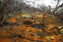 Waiotapu Orange Moss. Orange moss in the Waiotapu National Park area, in New Zealand Stock Photos